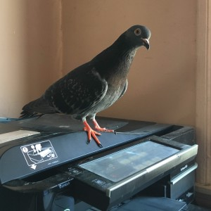 Our Unexpected Visitor: Leonor the Pigeon!